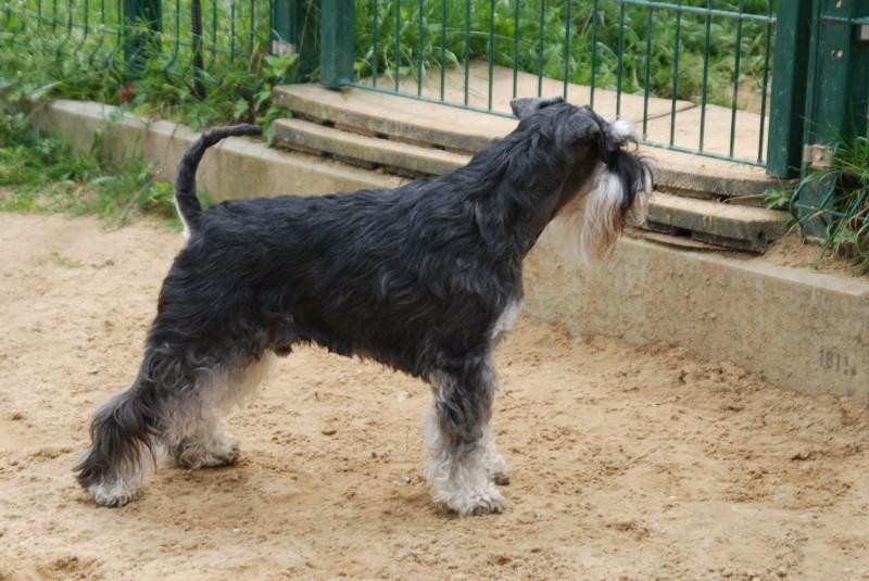 showhund aus Finland